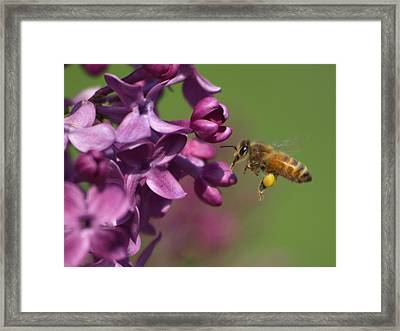 Honey Bee And Lilac Framed Print by James Peterson
