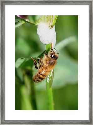 Honey Bee Drinking From Cuckoo-spit Framed Print