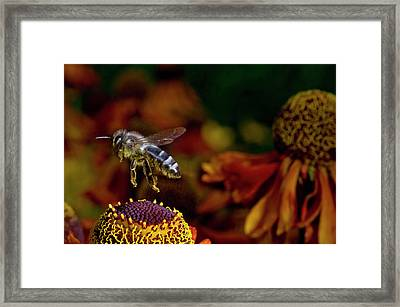 Honey Bee Flying Over Flowers (apis Framed Print