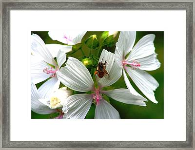 Honey Bee In The Mallow Framed Print