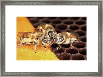 Honey Bee Mouth-to-mouth Feeding Framed Print by Stephen Ausmus/us Department Of Agriculture