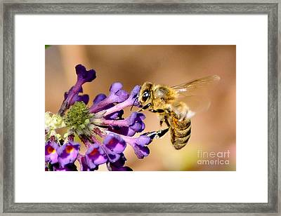 Honey Bee On Butterfly Bush Framed Print by Jean A Chang
