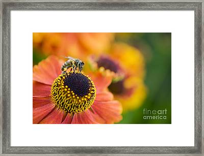 Honey Bee On Helenium Framed Print by Tim Gainey
