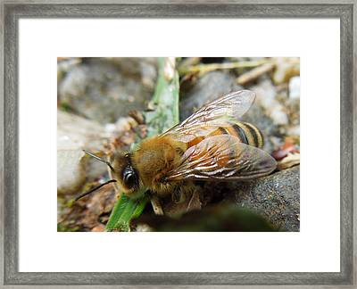 Framed Print featuring the photograph Honey Bee by Pete Trenholm
