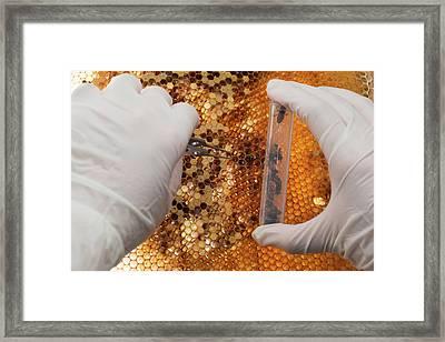 Honey Bee Research Framed Print by Pan Xunbin