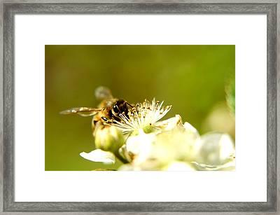 Honey Bee Two Framed Print by Joshua Ward