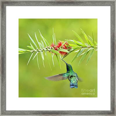 Honey Sucking Framed Print by Heiko Koehrer-Wagner