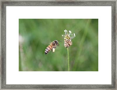 Honeybee And English Plantain Framed Print