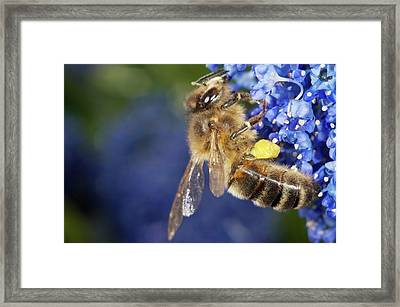 Honeybee Collecting Pollen Framed Print by Sinclair Stammers