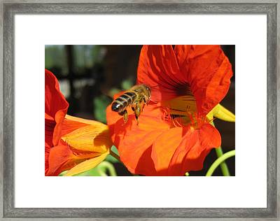 Honeybee Entering Nasturtium Framed Print