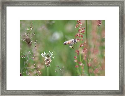 Honeybee Flying In A Meadow Framed Print