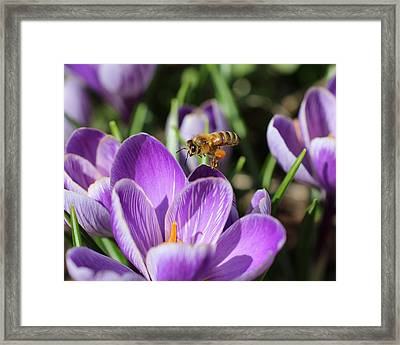 Honeybee Flying Over Crocus Framed Print