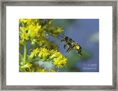 Honeybee In Flight Framed Print