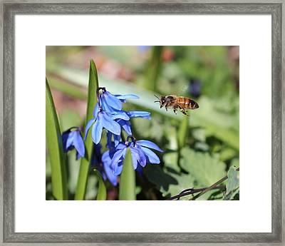 Honeybee In Flight Framed Print