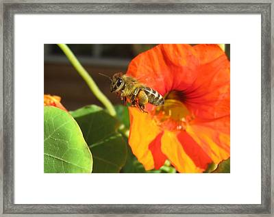 Honeybee Leaving Nasturtium With A Full Pollen Basket Framed Print