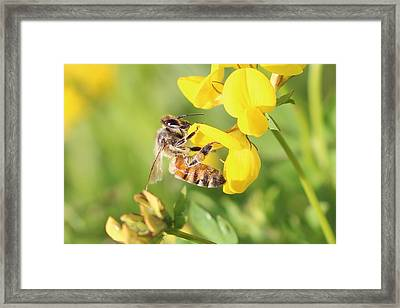 honeybee on Birdsfool Trefoil Framed Print
