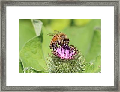 Honeybee On Burdock Framed Print