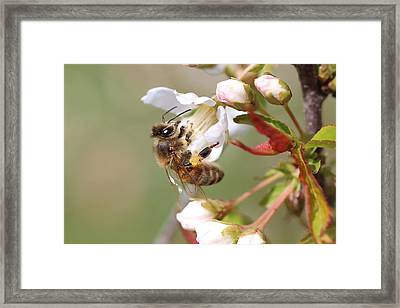 Honeybee On Cherry Blossom Framed Print