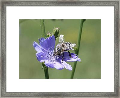 honeybee on Chickory Framed Print