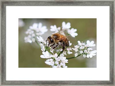 Honeybee On Cilantro Framed Print