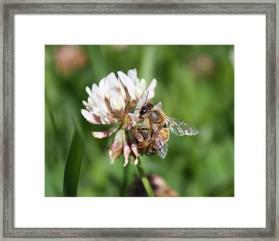 Honeybee On Clover Framed Print