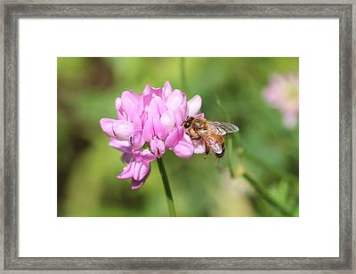 Honeybee On Crown Vetch Framed Print