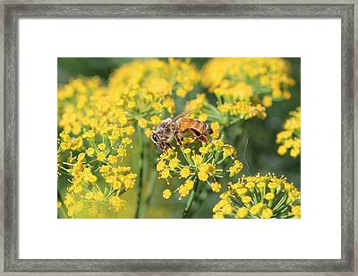 Honeybee On Dill Framed Print