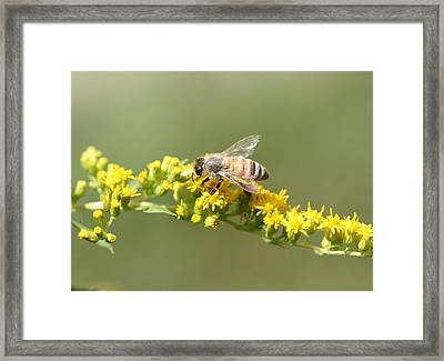 Honeybee On Goldenrod Twig Framed Print