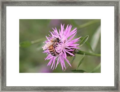 Honeybee On Ironweed Framed Print by Lucinda VanVleck