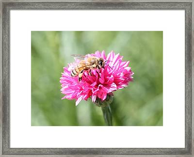 Honeybee On Pink Bachelor's Button Framed Print