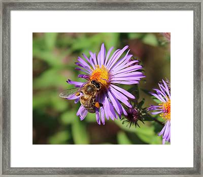 Honeybee On Purple Wild Aster Framed Print