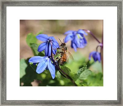 Honeybee On Siberian Squill Framed Print