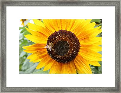 Honeybee On Small Sunflower Framed Print