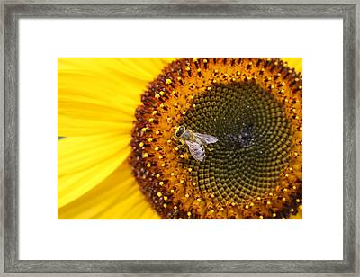 Honeybee On Sunflower Framed Print