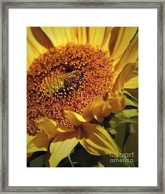 Honeybee On Sunflower Framed Print by Sharon Talson