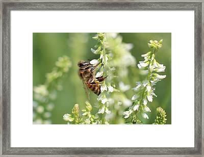 Honeybee On Sweet Clover Framed Print by Lucinda VanVleck