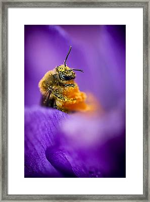 Honeybee Pollinating Crocus Flower Framed Print