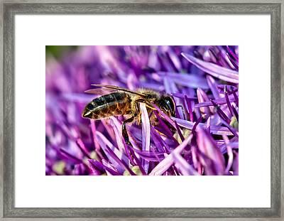 Honeybee Romping In The Garlic Framed Print