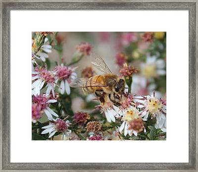 Honeybee Sipping Nectar On Wild Aster Framed Print