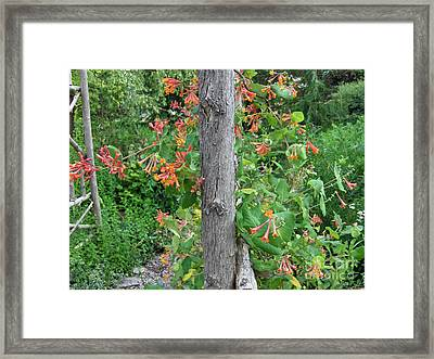 Honeysuckle's Friend Framed Print by Brenda Brown