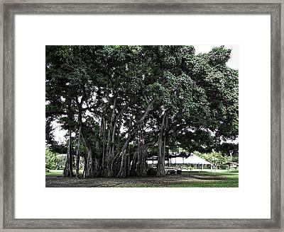 Honolulu Banyan Tree Framed Print by Daniel Hagerman