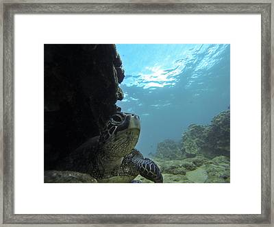 Honu Territory Framed Print by Brad Scott