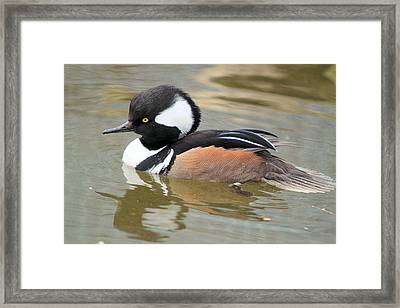 Hooded Merganser Drake Framed Print