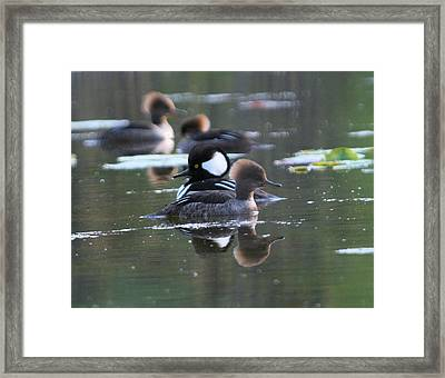 Hooded Merganser Pair Crossed Framed Print