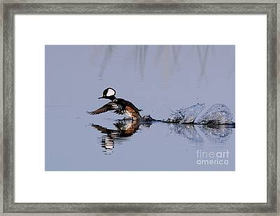 Hooded Merganser Take Off Framed Print by Jennifer Zelik