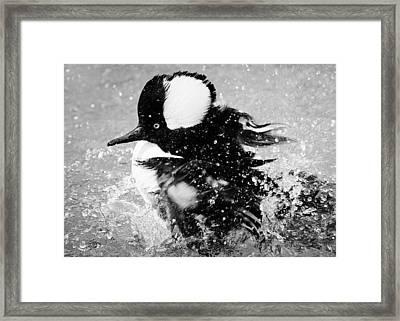 Hooded Merganser Taking A Bath Framed Print by Paulette Thomas