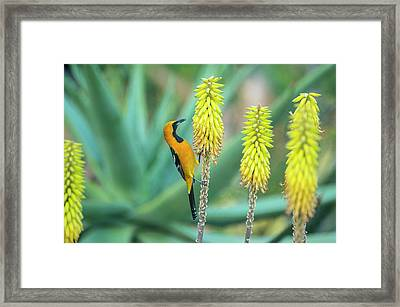Hooded Oriole Male Feeding On A Flower Framed Print by Gerard Soury