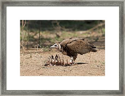 Hooded Vulture With Carcass Framed Print