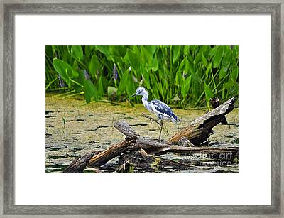 Hooligan Heron Framed Print by Al Powell Photography USA