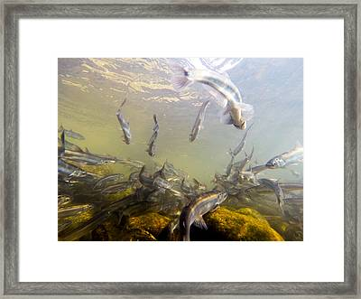 Hooligan Underwater Framed Print